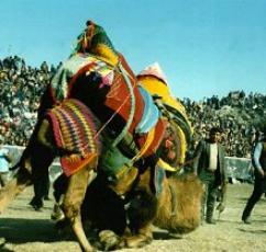 Camel Wrestling and Kids